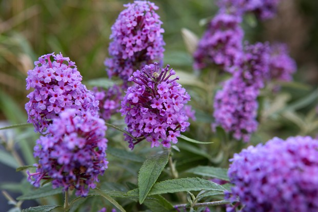 Blue-purple flowers of <em>Buddleja davidii</em> 'Buzz Sky Blue'