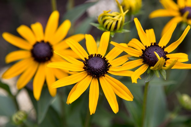 Golden-yellow flowers of <em>Rudbeckia</em> 'Little Gold Star'
