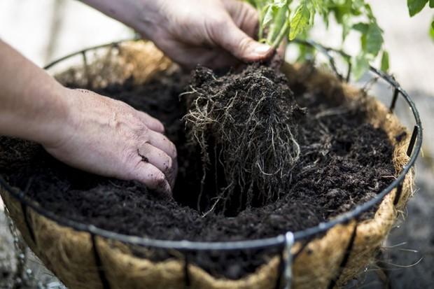 Planting the hanging basket