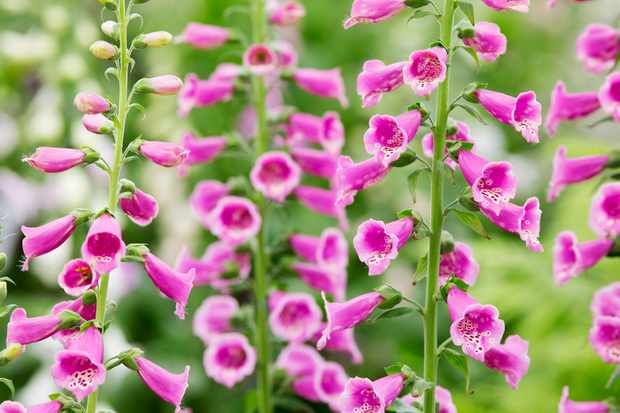 foxgloves-toxic-to-dogs-3