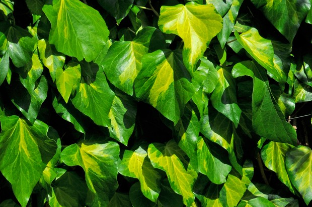Yellow and green variegated leaves of ivy 'Sulphur Heart'