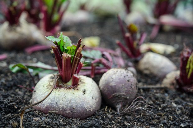 10 best vegetable crops for shade - beetroot
