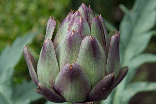 A globe artichoke developing on its plant