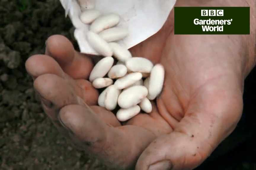 How to sow climbing beans outdoors