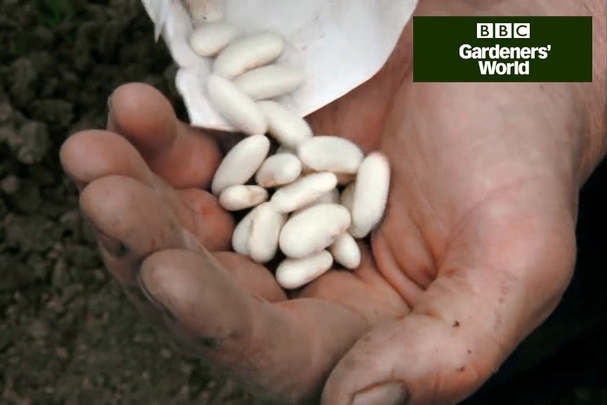 How to sow climbing beans outdoors video