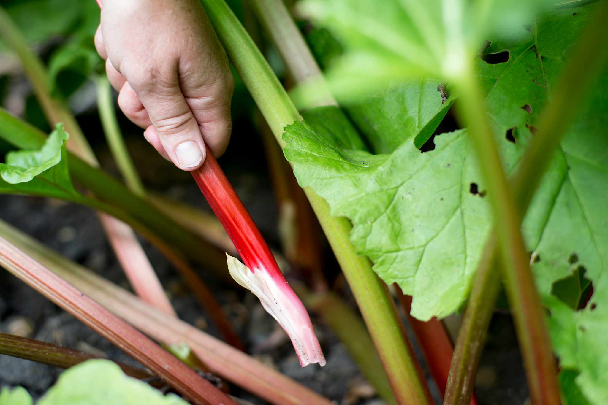 Harvesting rhubarb stems from base of plant