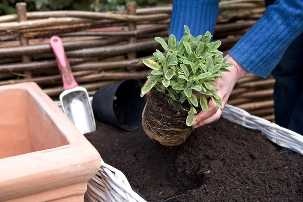 Planting a variegated sage plant in a trough