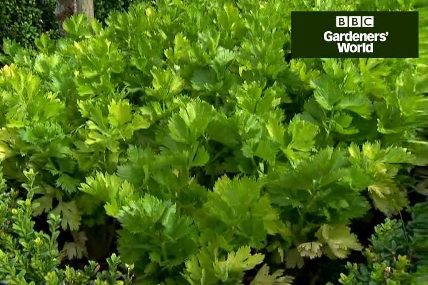 How to grow celery and celeriac video