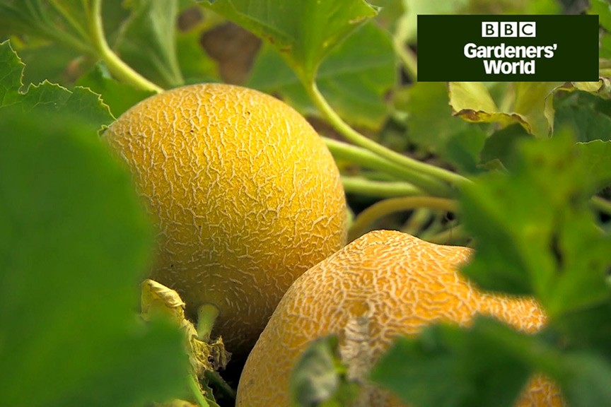 Monty Don's outdoor melon trial (part one) video