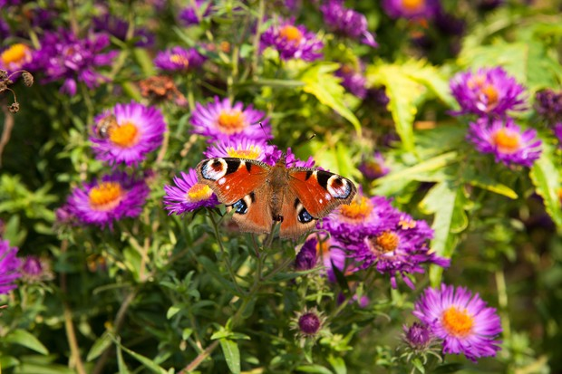 peacock-butterfly-on-aster-2
