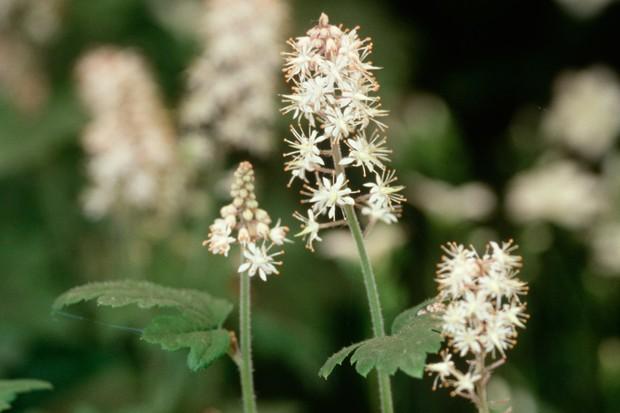 Cream flower spikes of tiarella