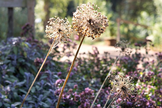 allium-seedheads-2