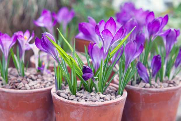Crocus – Grow Guide