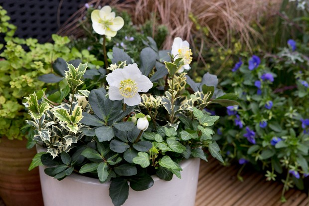 hellebore-and-evergreen-winter-pot-2