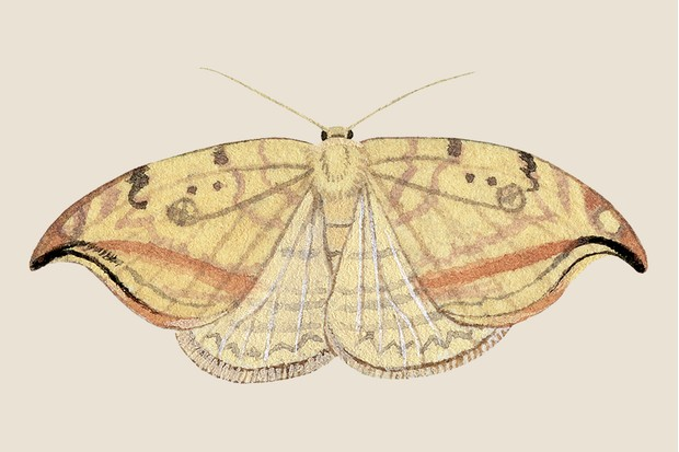 Pebble hook-tip moth illustration