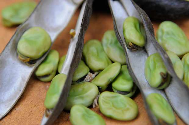 broad-beans-fresh-from-pod-2