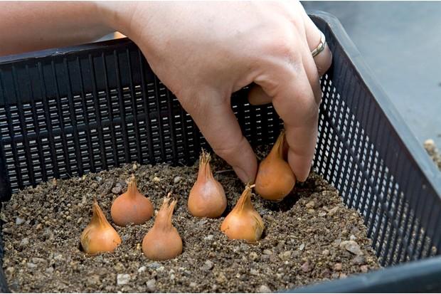 planting-tulip-bulbs-in-aquatic-baskets-2