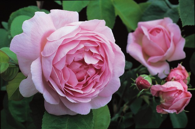 rosa-constance-spry-4