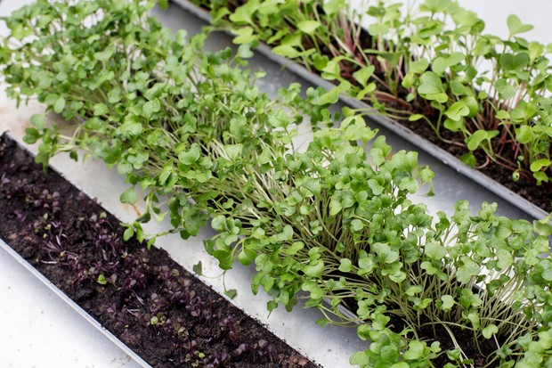 Young micro-greens