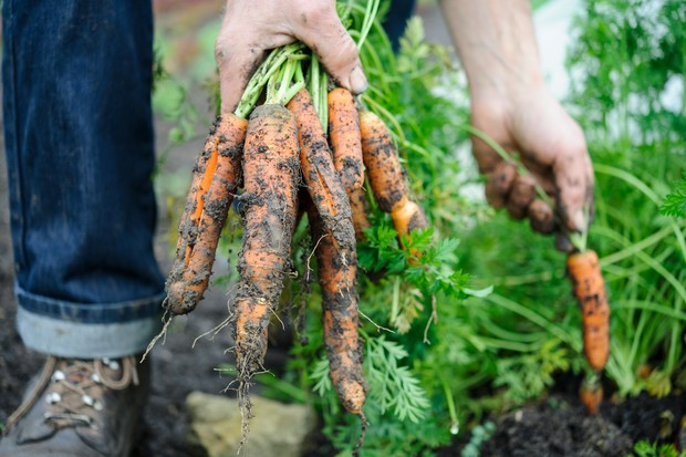 harvesting-carrots-6
