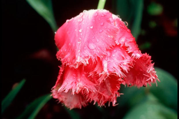 Delicately fringed white edges to red petals of Tulip 'Fancy Frills'