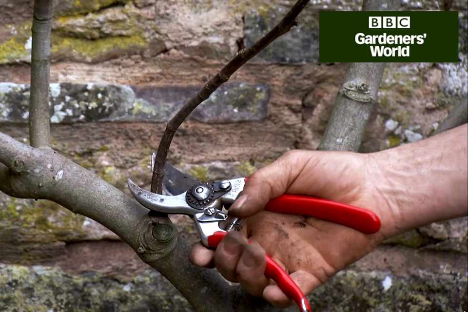 How to prune a wall-trained fig tree video