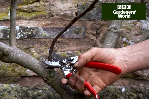 How to prune a wall-trained fig tree
