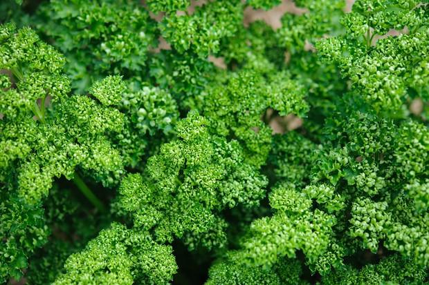 curley-parsley-foliage