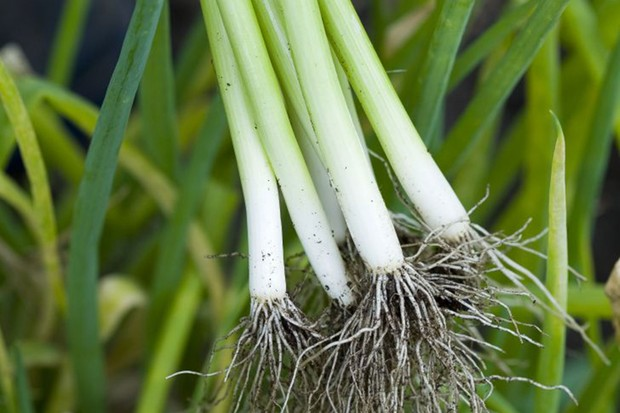 Freshly pulled spring onions 'White Lisbon Winter Hardy'