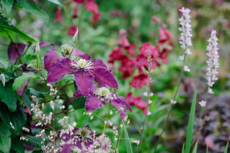 Plum-purple clematis 'Niobe' in a complementary border