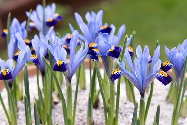 Pale blue blooms of Iris reticulata