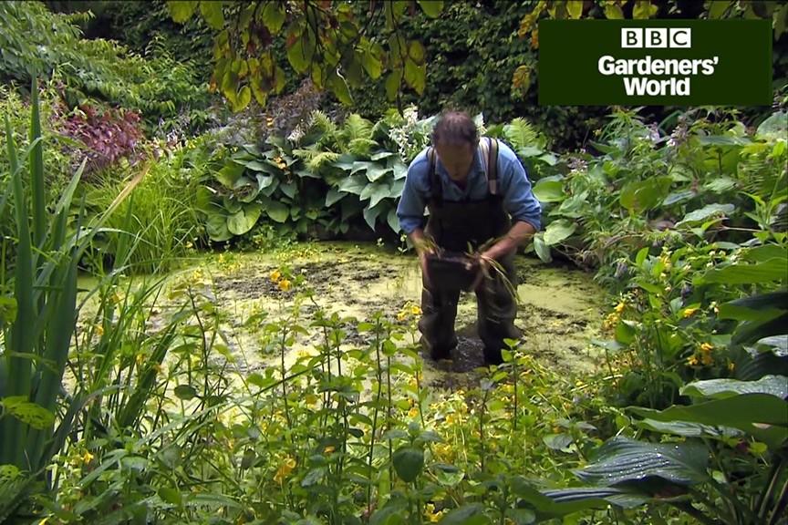 How to plant aquatic perennials in ponds