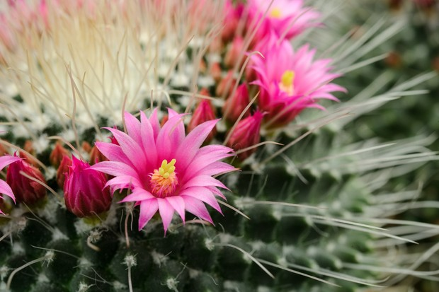 Mamillaria spinosissima with pink flowers