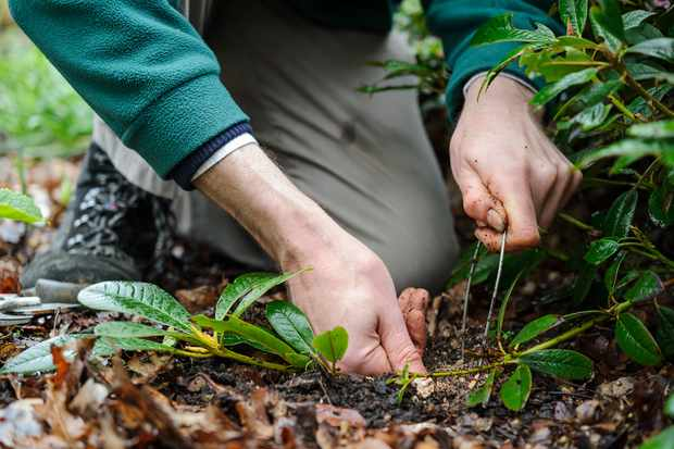 How to layer an evergreen shrub
