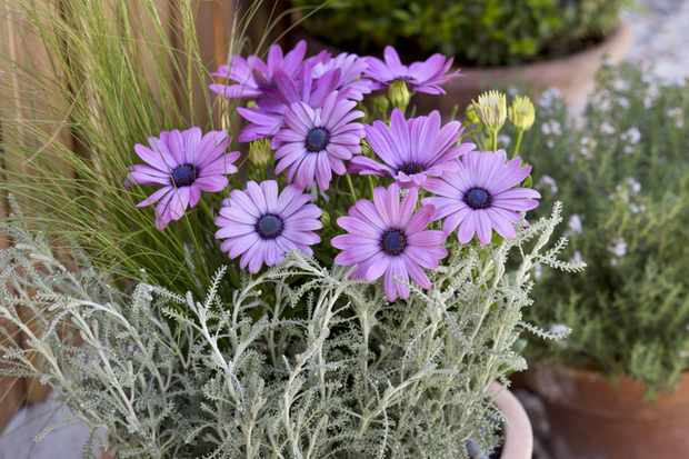 Osteospermum and santolina pot display