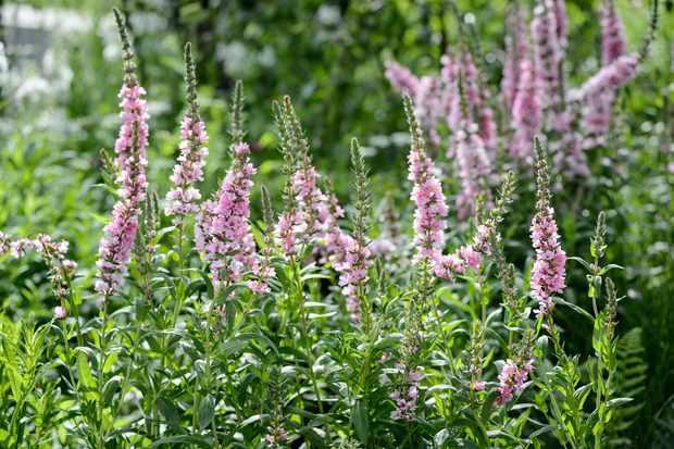 Marginal Plants for Ponds
