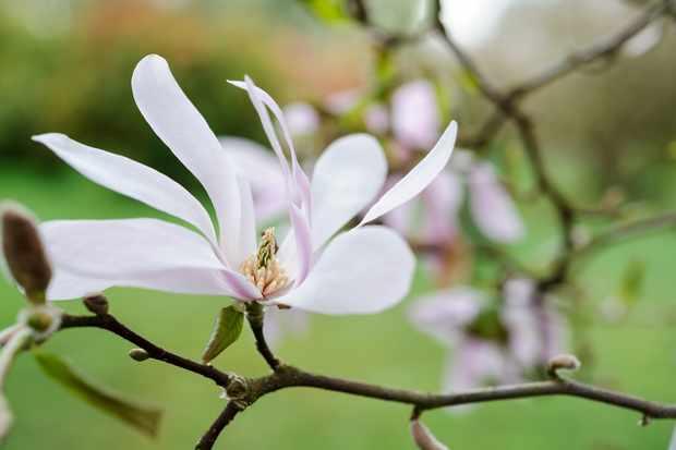 Pale pink magnolia flower
