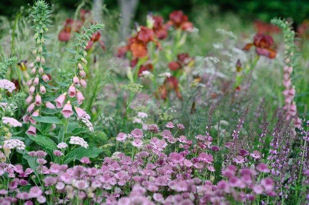 Pink and green flowers of Astrantia 'Buckland' at the front of a border
