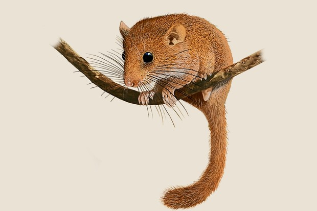 An illustration of a tawny dormouse with a fluffy tail sitting on a branch