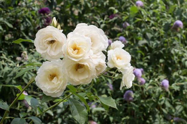 White blooms of rose 'Climbing Iceberg'