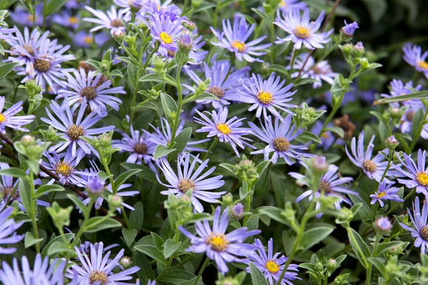 autumn-asters-2