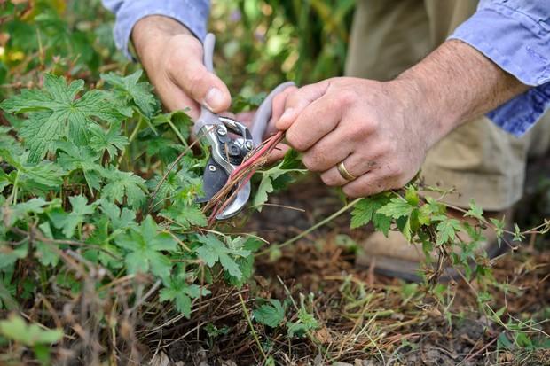 cutting-back-hardy-geraniums-3