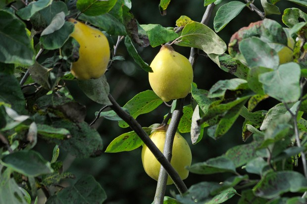 quince-fruits-2
