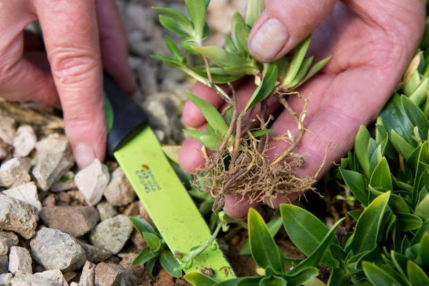 How to take cuttings from alpines - cutting a piece of root