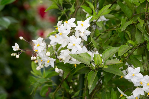 potato-vine-solanum-laxum-album-2