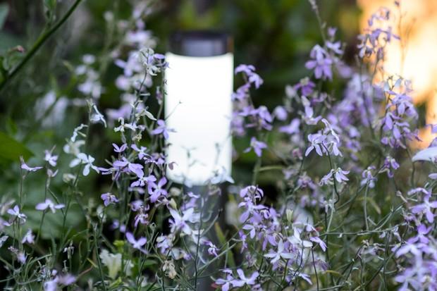 matthiola-longipetala-night-scented-stock-2