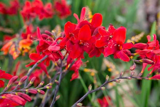 plants-for-a-jungle-style-border-crocosmia-2