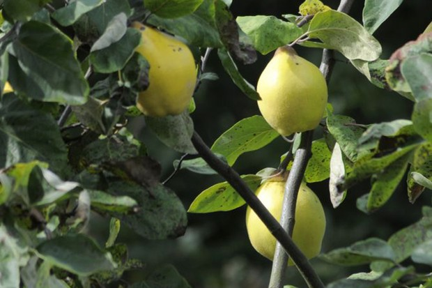 Yellow quinces on their tree
