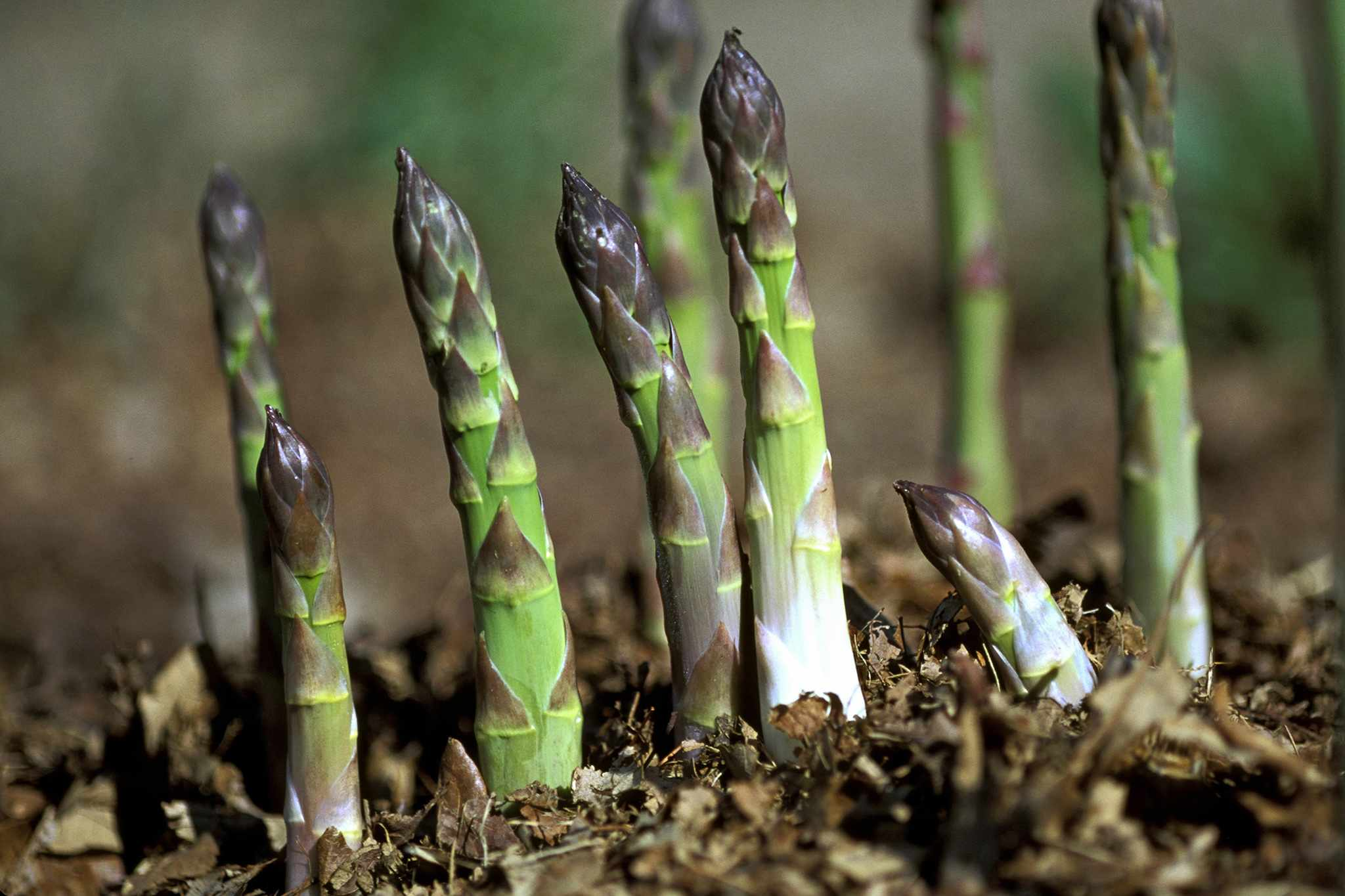 Asparagus spears emerging from the ground