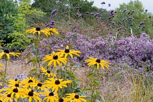 verbena-bonariensis-with-rudbeckia-and-grasses-2